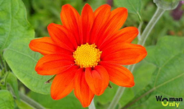 Цветы титония