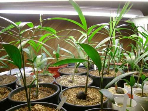 Пальмы лисий хвост из пророщенных косточек