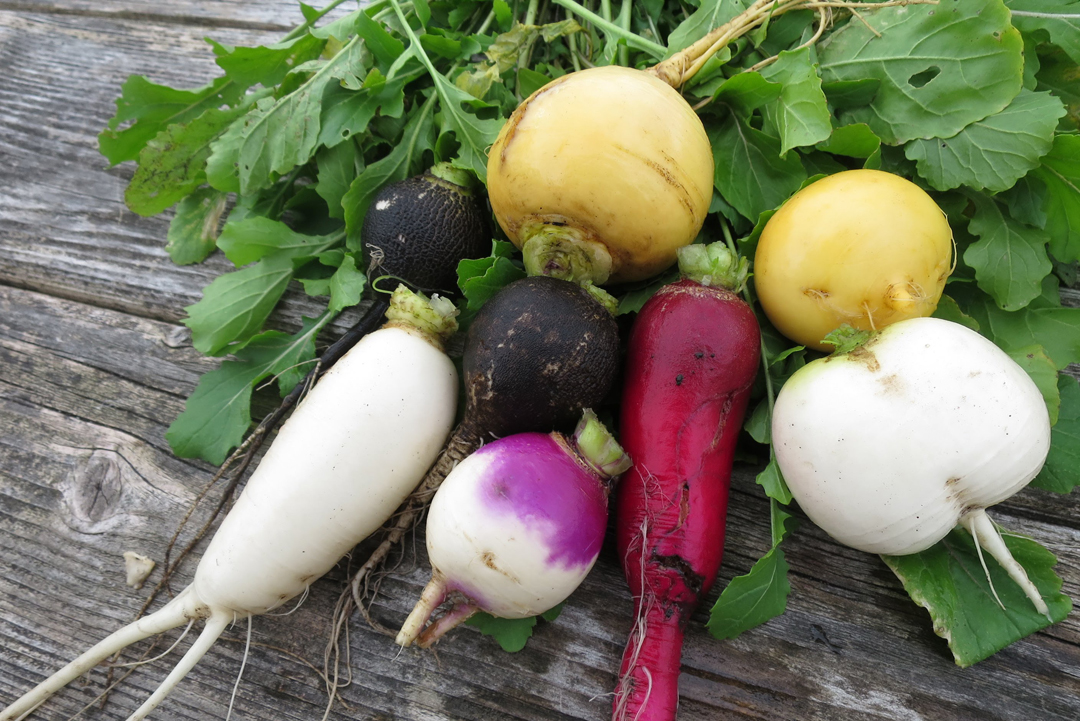 Интересные рецепты: 6 простых и вкусных блюд из репы и редьки