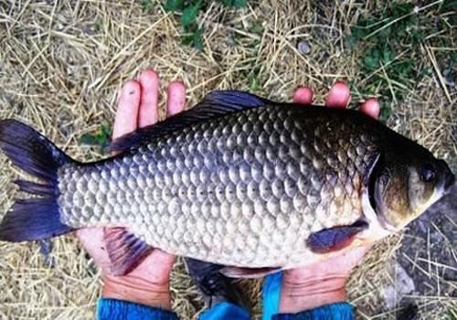 как подкормить карася на рыбалке