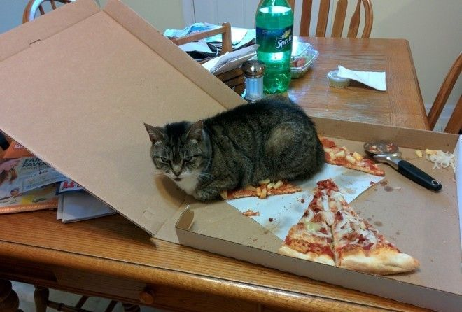 Странная кошачья логика, кот…