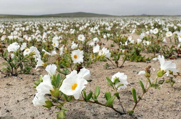 В Чили расцвела самая засушливая пустыня в мире