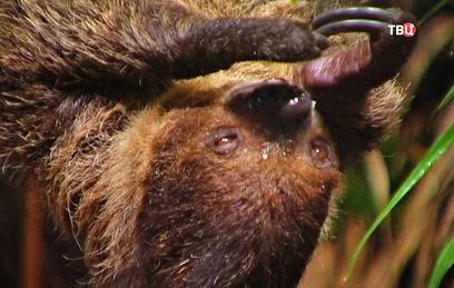 В Московском зоопарке покажут кормление бобра, выдры и ленивца
