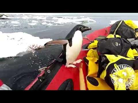 """""""Визит"""" пингвина к ученым в Антарктике попал на видео"""