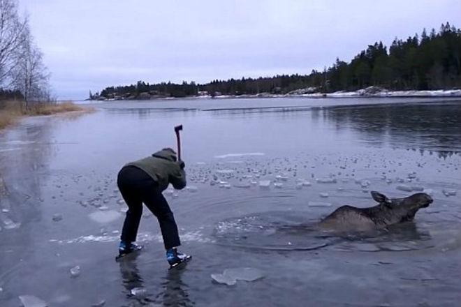Люди пришли на помощь лосю, который провалился под лед