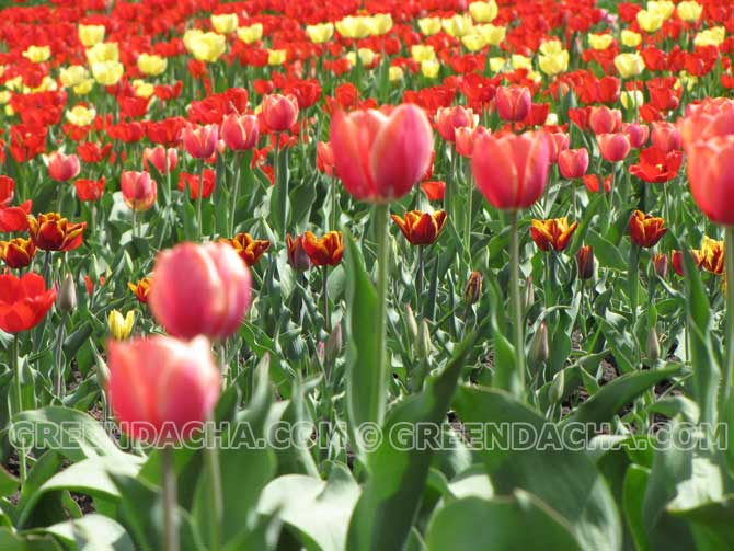 Бизнес на даче - выгонка тюльпанов для продажи: начинать нужно сейчас!