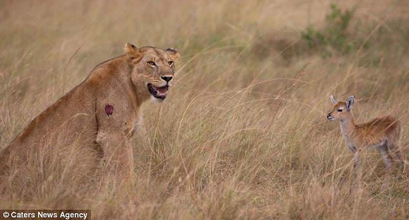Львица и детеныш антилопы удивительное, детеныш, львица