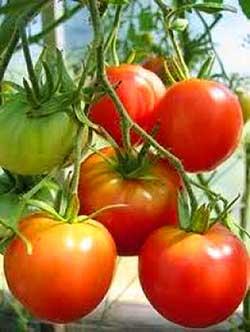 О пасынковании томатов
