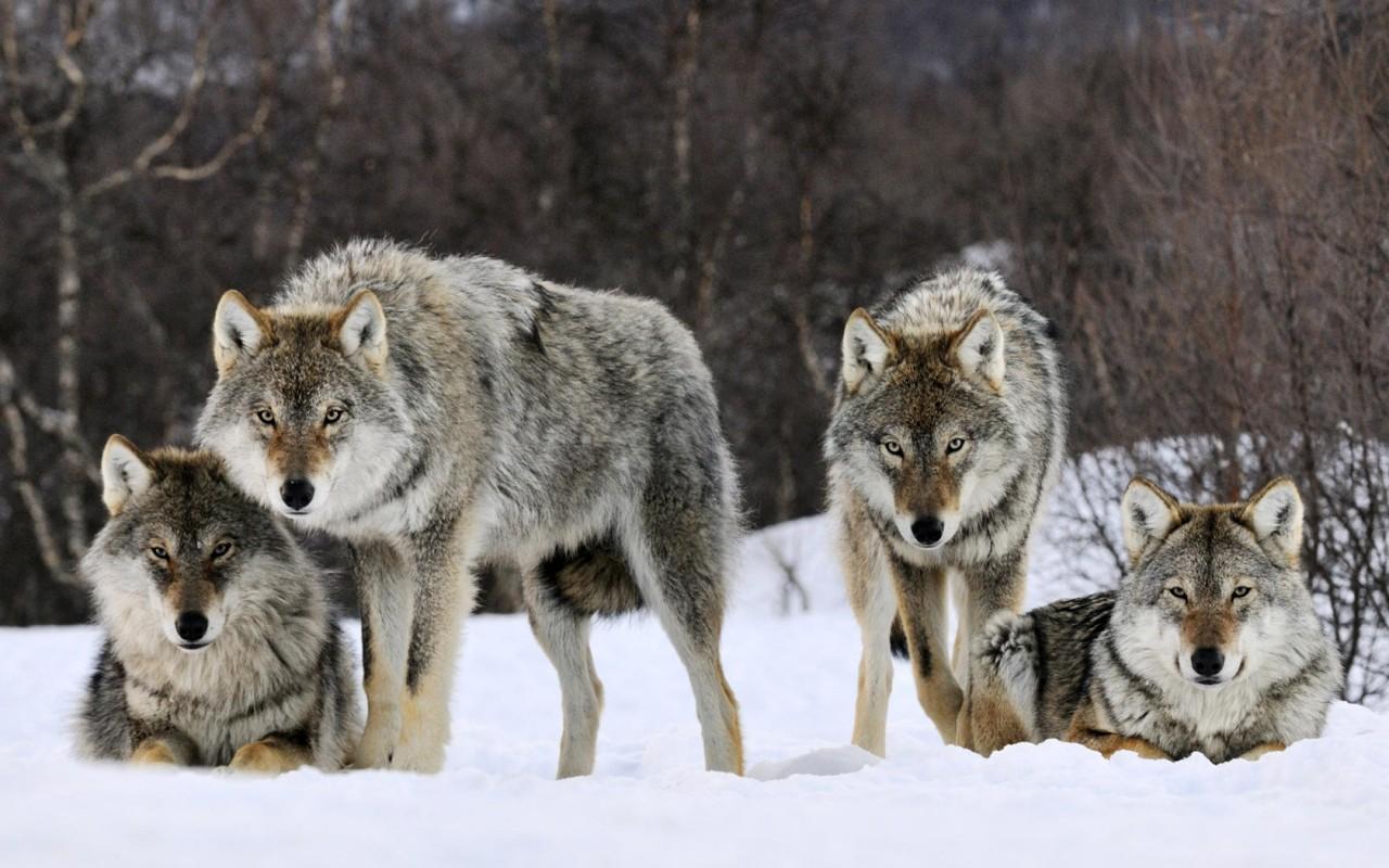 Вологодские охотники побили рекорд в отстреле волков