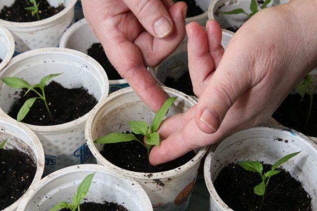 Высеиваем и стимулируем. Как проверить семена на всхожесть