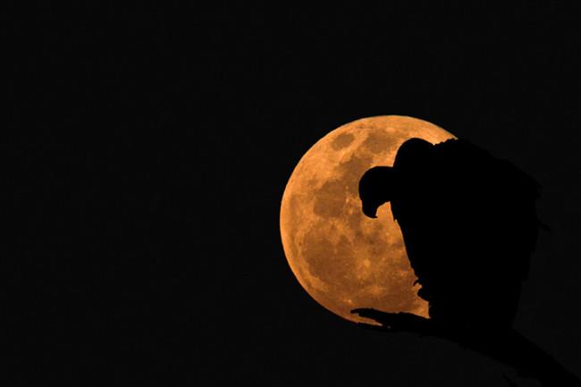 Moonlight Vulture