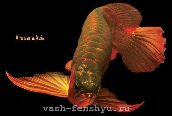 Вот она рыба моей мечты — арована фен-шуй