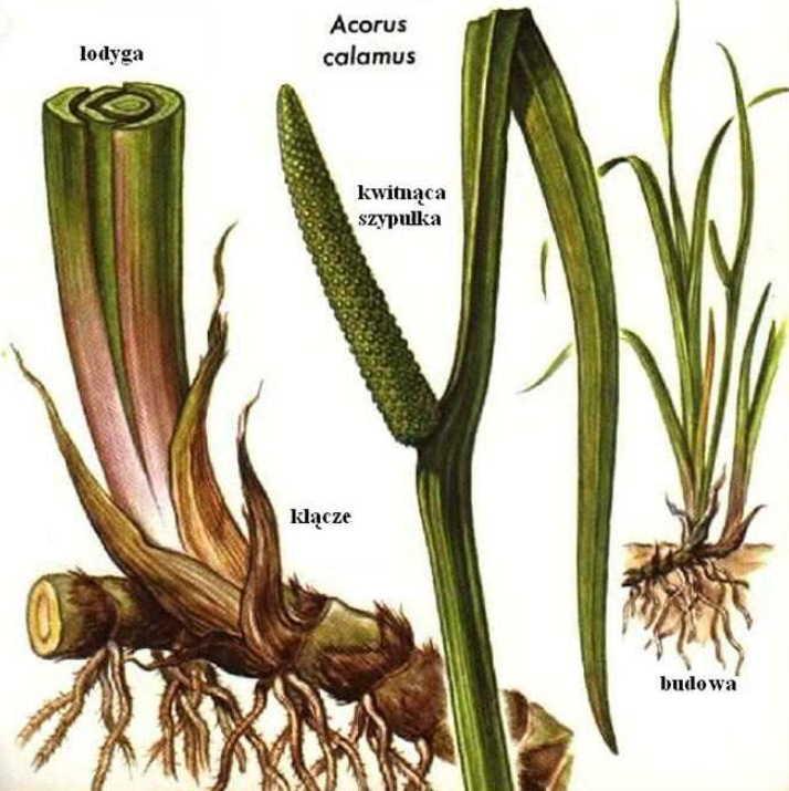 11 чудодейственных растений при хроническом простатите!