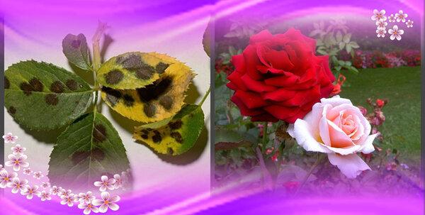 Черные пятна на листьях розы: как лечить опасную болезнь