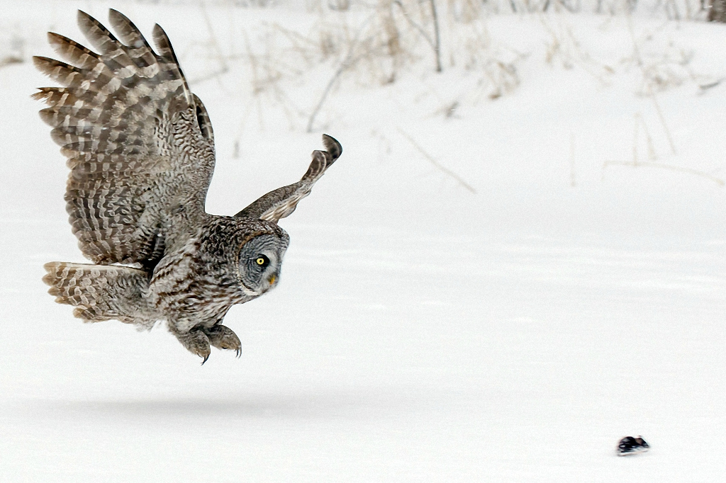 какая сова ловит мышей