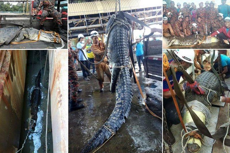 10 часов пожарные спасали 6-метрового крокодила из стока