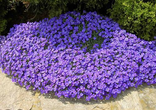 Как сажать почвопокровные цветы 41