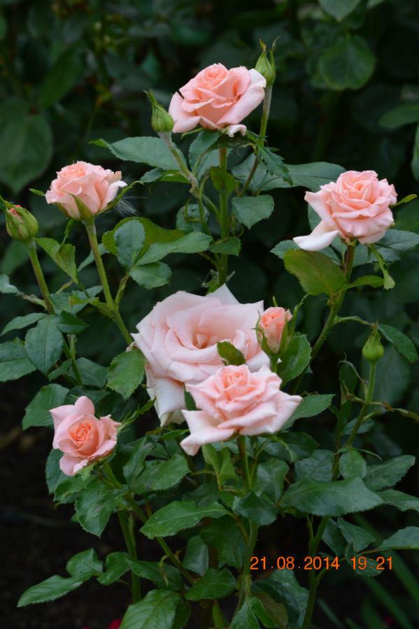 Розы нашего сада. Часть 4. Башкирки 2014