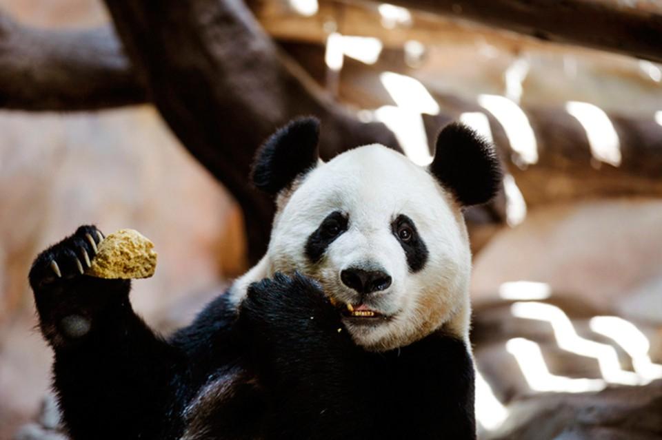 Панда сломала мужчине обе руки