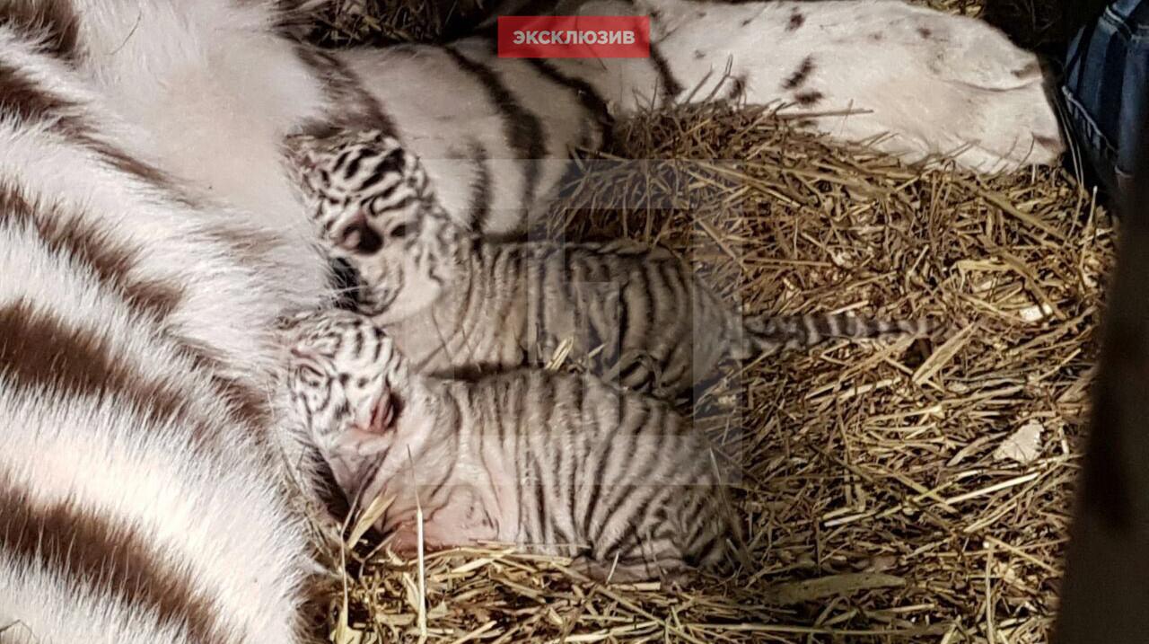 В Большом московском цирке родилось два редких белых тигрёнка