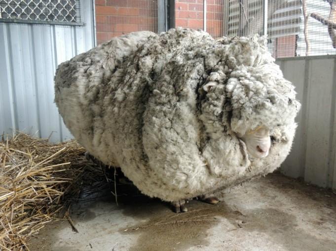 Самая нестриженая овца мира-1