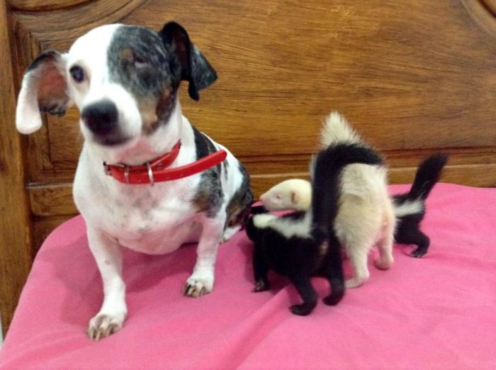 Baby Skunks Were Rejected By Mother At Birth, But Our Dog Freddie Took Over As Stepmum!