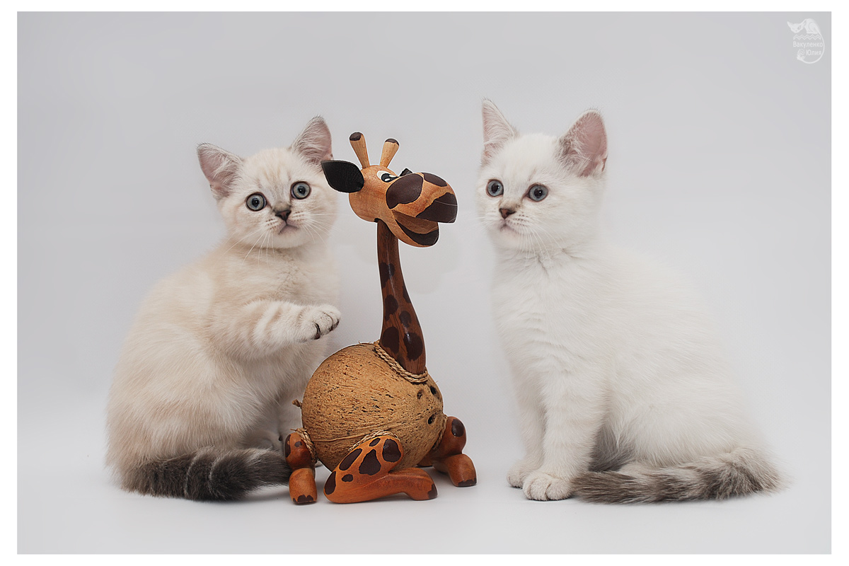 Miranis - питомник шотландских кошек в томске