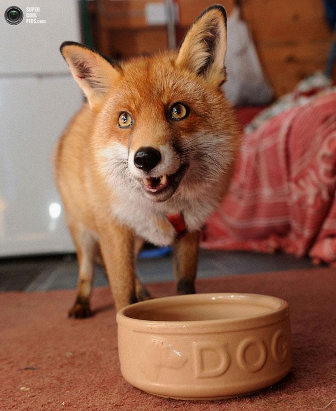 Лисица, считающая себя домашней собакой