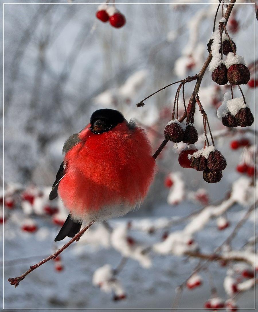 Картинки на рабочий стол красавицы снегири зимой