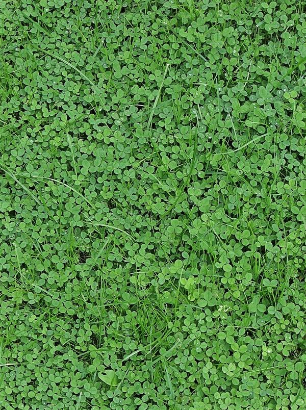 листья ползучего клевера