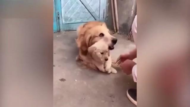 Папа-ретривер не дает никому прикасаться к своему щенку