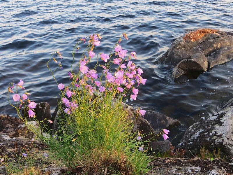 Долго будет Карелия снится,остроконечных елей ресницы, над голубыми глазами озер.