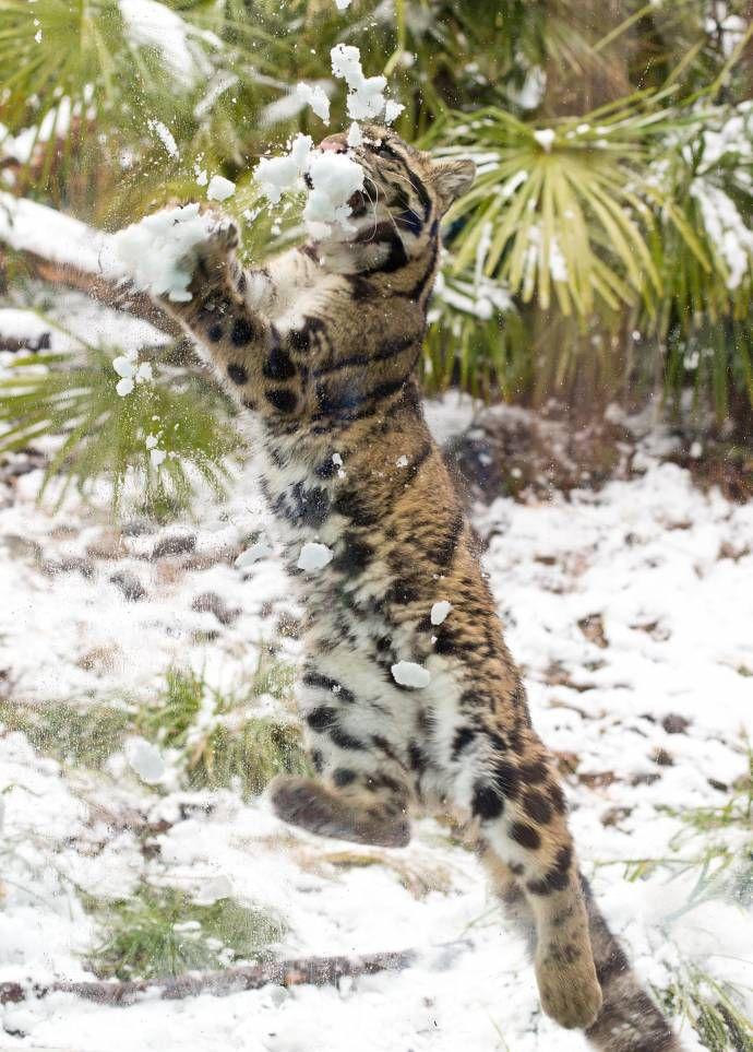 Дымчатый леопард ловит снежки   зима, снежки, леопард, интересное