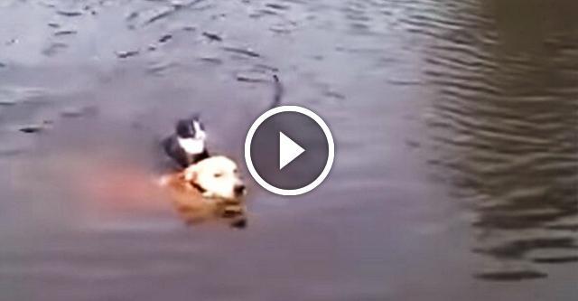 Пёс спасает тонущего кота