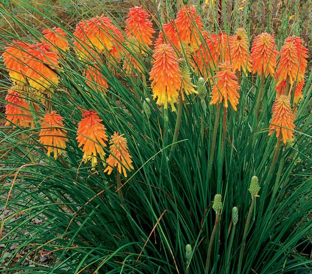 Книфония - редкое растение на наших дачах
