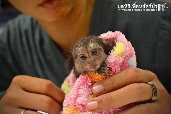 Макс - обезьянка, которой очень повезло попасть в любящие руки