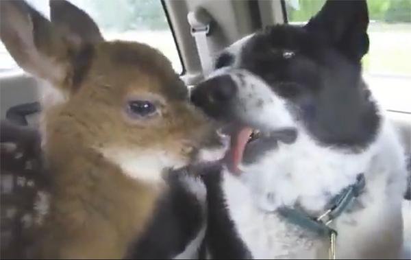 Пес, который запугиваем медведей, стал заботливым папой осиротевшему олененку