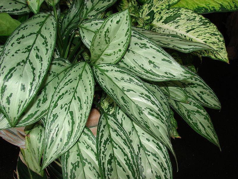 Виды и сорта аглаонемы - Комнатные растения и цветы. Florets…