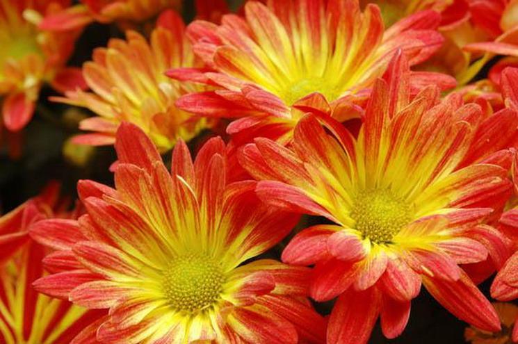 Хочешь быть счастливым всю жизнь – выращивай хризантемы