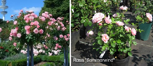 Посадка розы Sommerwind