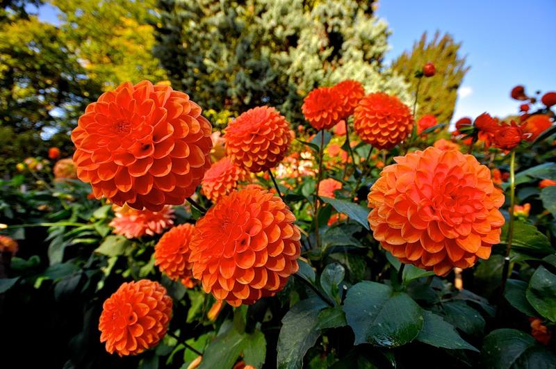Ответы@Mail.Ru: Какая тайна сокрыта в названии георгины и какие легенды связаны с этими прекрасными цветами?
