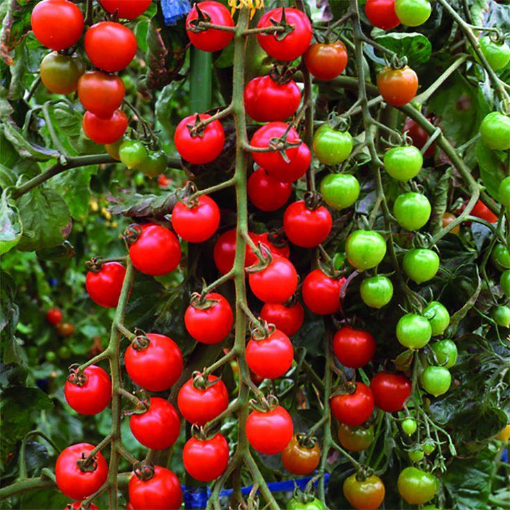 Черенкование рассады томатов, стоит ли овчинка выделки?