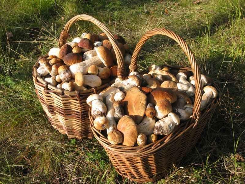 Два пенсионера собрали 19 кг грибов и их оштрафовали на 120 тыс руб