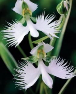 Орхидея «лудизия»