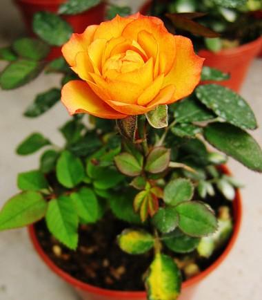Комнатное растение роза - королева цветов в доме Женская книга