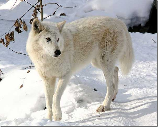 Snow-White-Arctic-wolf-