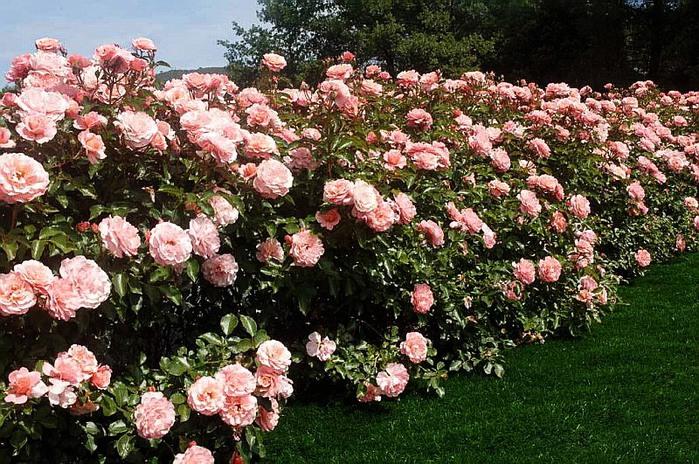 Прекрасные розы - самым прекрасным женщинам. Обсуждение на LiveInternet - Российский Сервис Онлайн-Дневников