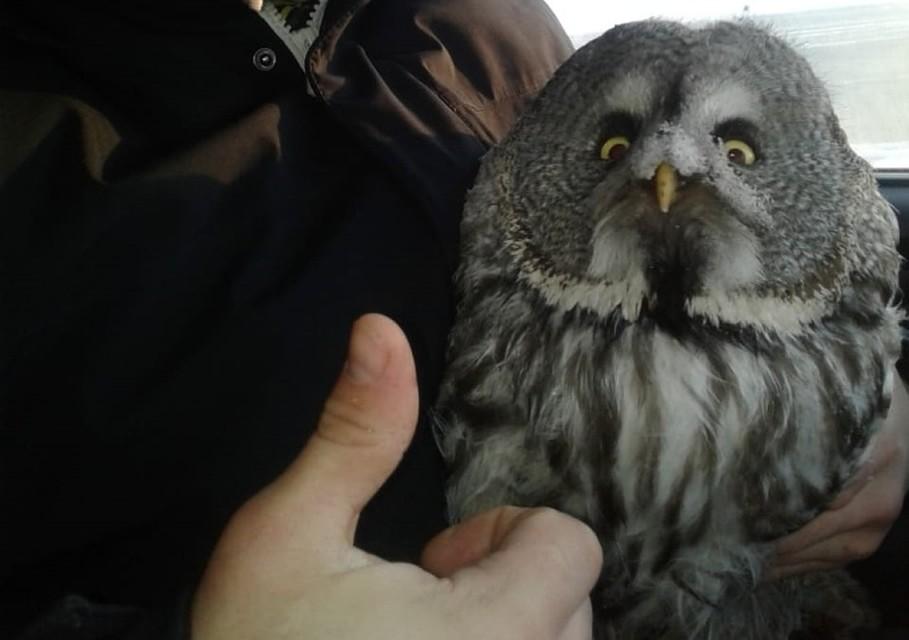 Свердловские дорожники спасли замерзающую на трассе сову