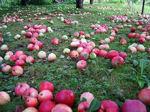 Побыстрее убирайте падалицу из под яблонь
