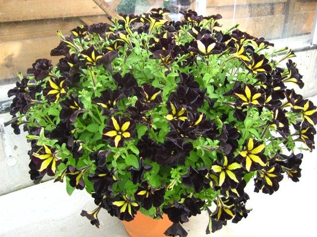 Черные петунии